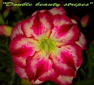 New Adenium \'Double Beauty Stripes\' 5 Seeds